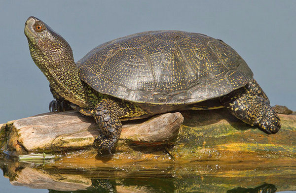 Как содержать болотную черепаху в домашних условиях