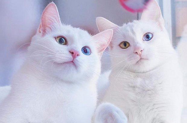 кошка као-мани фото
