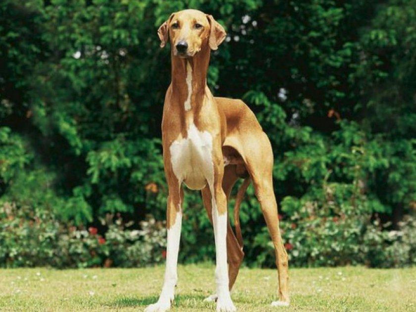 желаемое возможно, картинки длинноногих собак лошади тоже