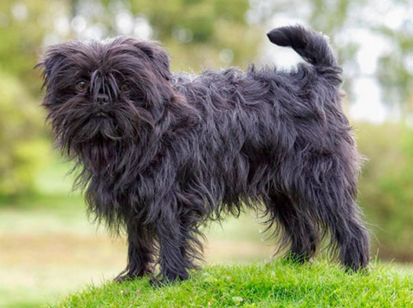 Аффенпинчер: описание породы с фото, характер собаки, особенности ухода