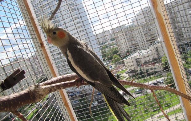 Уход содержание и кормление попугаев корелла