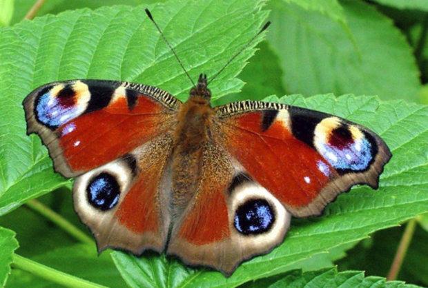 королек бабочка