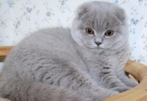 котята скоттиш фолд фото британские
