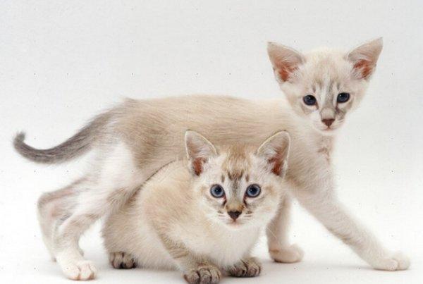 Тонкинские кошки (58 фото): описание котов породы тонкинез, особенности характера котят. Цвет глаз тонкинских кошек. Правила содержания