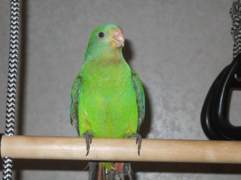 Барабандовый попугай