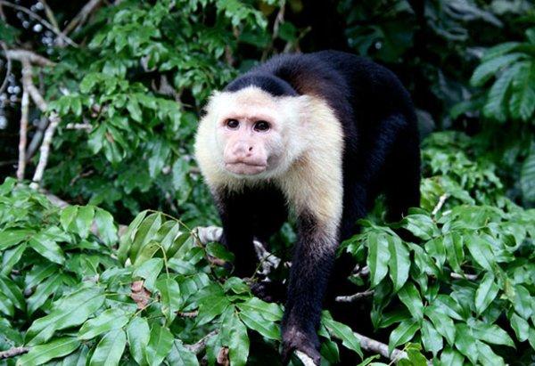 Шимпанзе: содержание в домашних условиях
