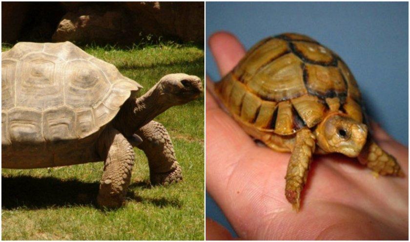 Слоновая и египетская черепахи