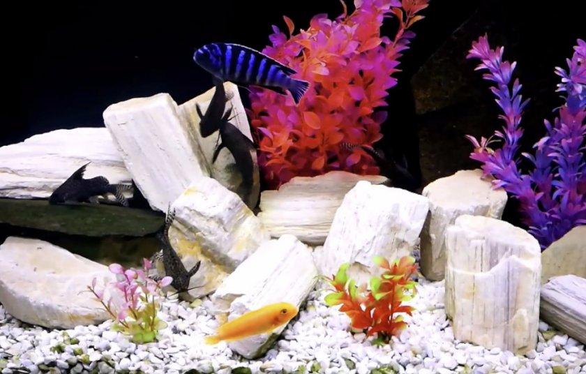 Цихлиды и синодонтисы в аквариуме