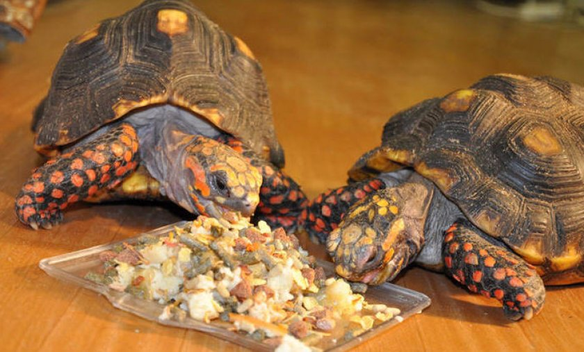 Кормление черепах
