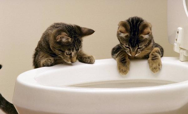Как научить кота ходить на унитаз после обычного лотка в условиях квартиры