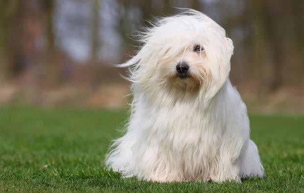 Всё о миниатюрных собаках Котон де Тулеар - правила содержания, особенности ухода и прочие важные аспекты   фото