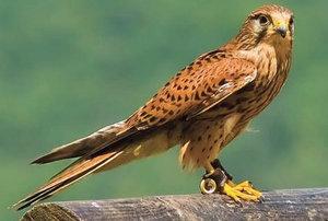 Внешний вид, среда обитания и образ жизни хищной птицы — сокола