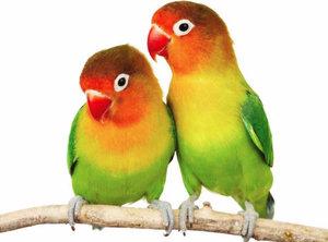 Имена для попугаев, как назвать пернатых мальчиков и девочек