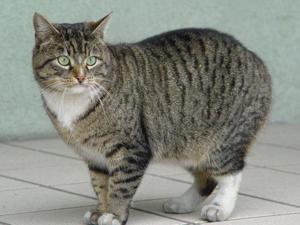 Среднеевропейская кошка