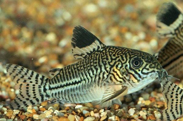 Аквариумный сом рыба живущая на дне аквариума