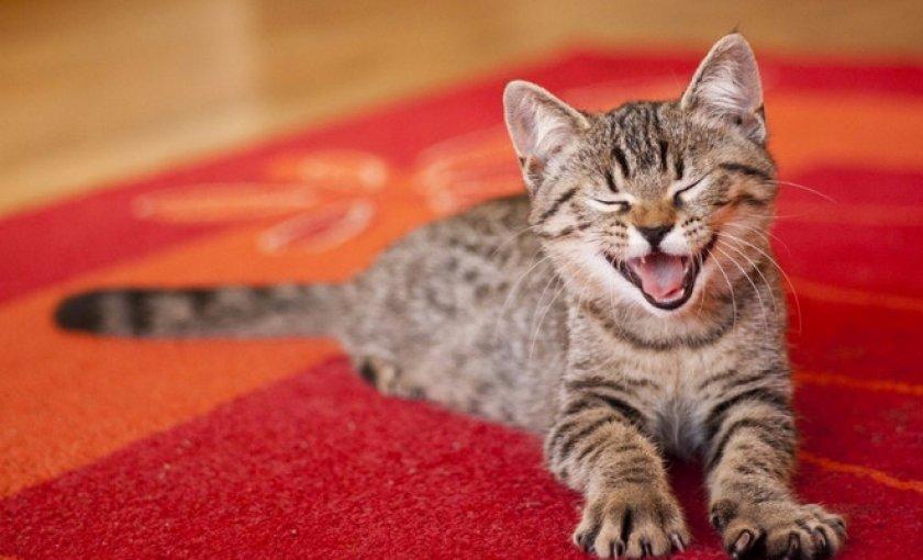 Избавляемся от запаха кошачьей мочи с ковра