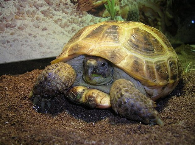Среднеазиатские черепахи сухопутные в домашних условиях 572