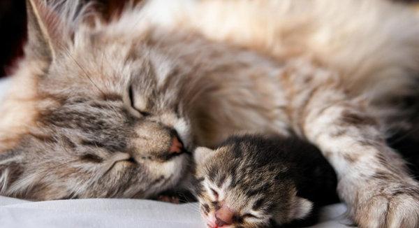 Сколько длится первая беременность у кошки