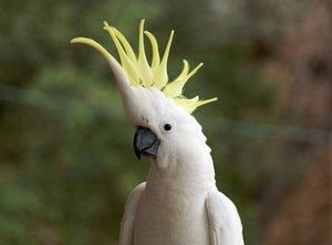 Каким бывает семейство какаду: описание подсемейства, родов и видов попугаев