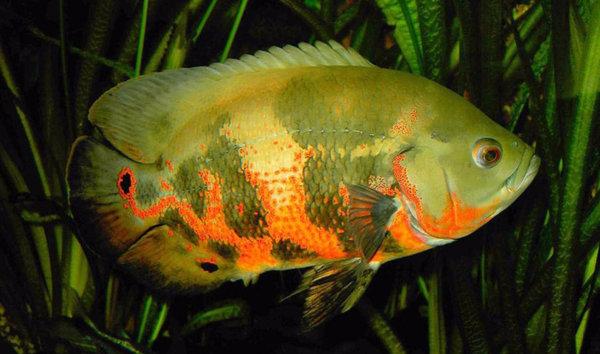 с крупные фото рыбки аквариумные