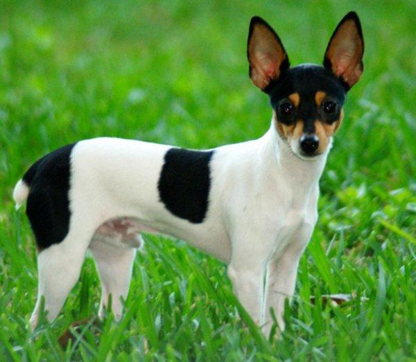 Собака породы американский той фокстерьер с описанием и фото, цены на щенков в питомниках