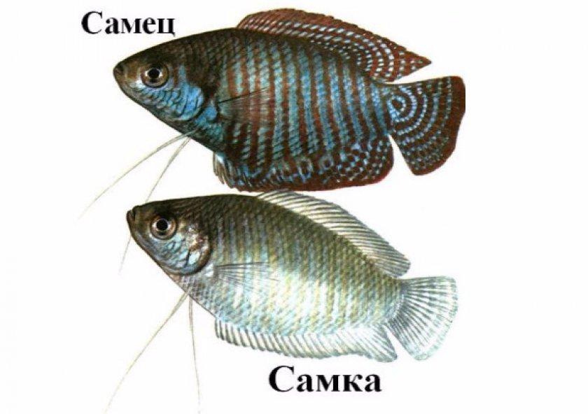 Отличия самца и самки