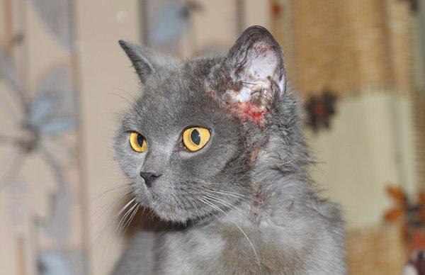 Блошиный дерматит у кошек симптомы лечение в домашних условиях