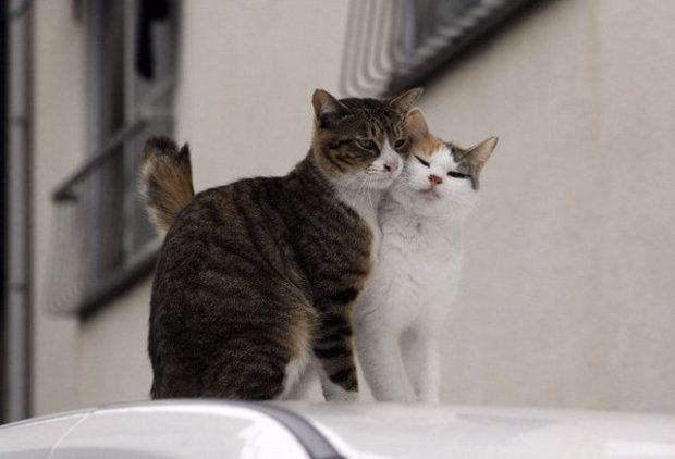 периодичность течки у кошки