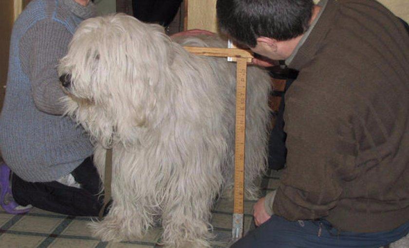 меряют рост собаки