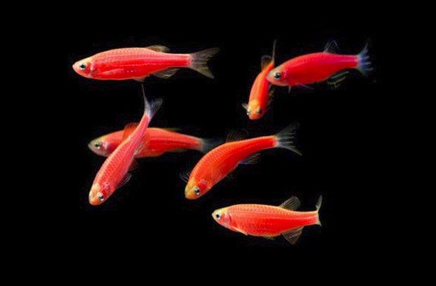 Пошаговая инструкция по разведению данио в аквариуме