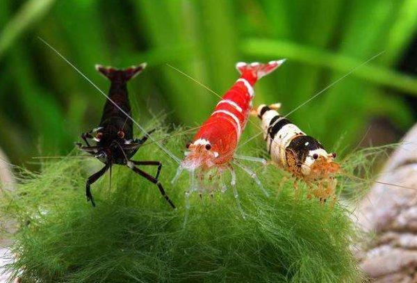 Содержание и размножение аквариумных креветок. Подбор грунта уход за мальками, совместимость пород и с рыбками
