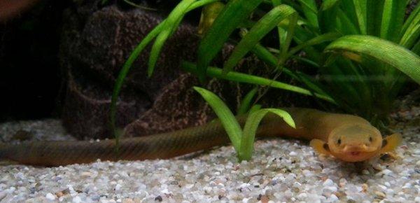 Рыба змея: описание, уход и содержание аквариумной рыбки