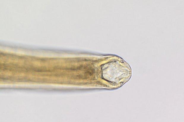 Uncinaria stenocephala