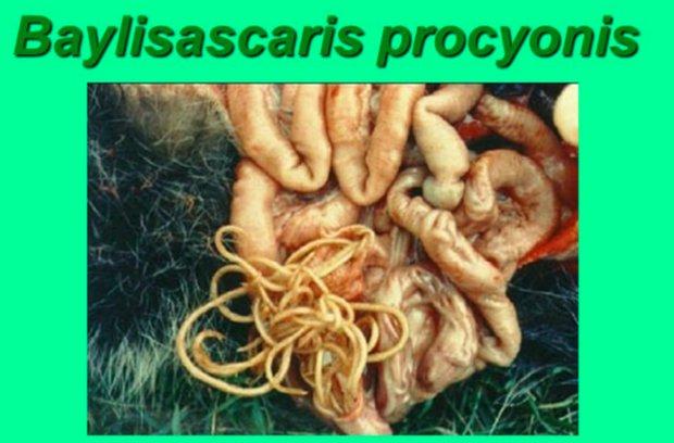Baylisascaris procyonis
