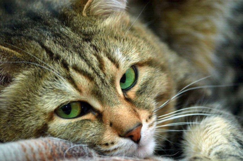 «Тронцил-К» для кошки