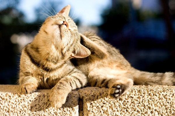 Самое хорошее средство от блох для кошек