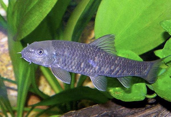Правильный уход и содержание рыбки гарра руфа в домашних условиях