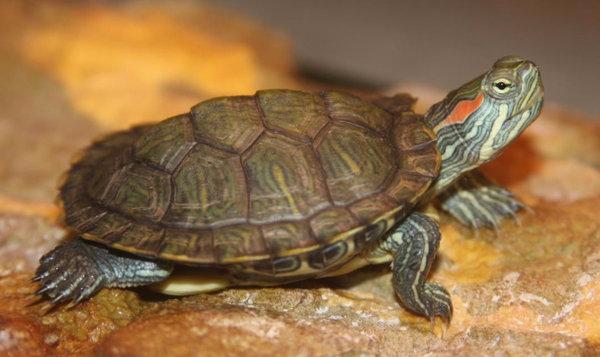 Красноухие черепахи уход в домашних условиях как  11