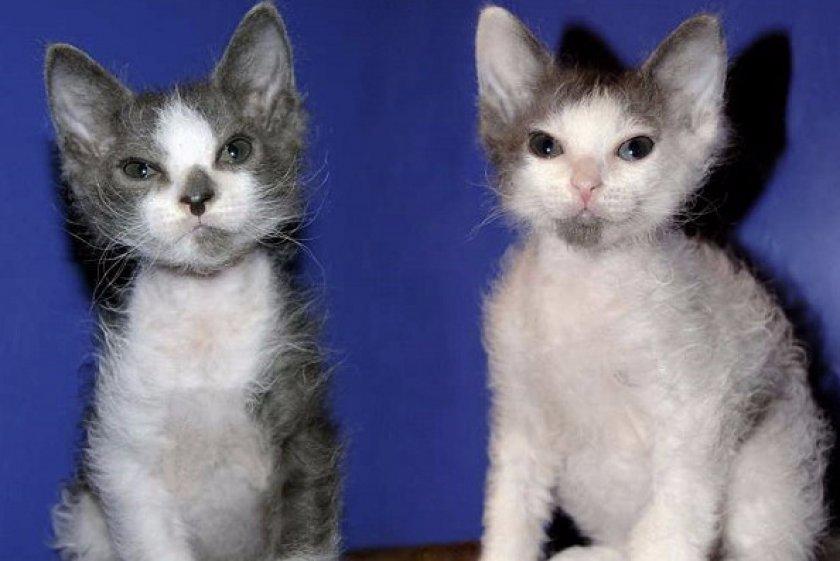 Котята породы лаперм