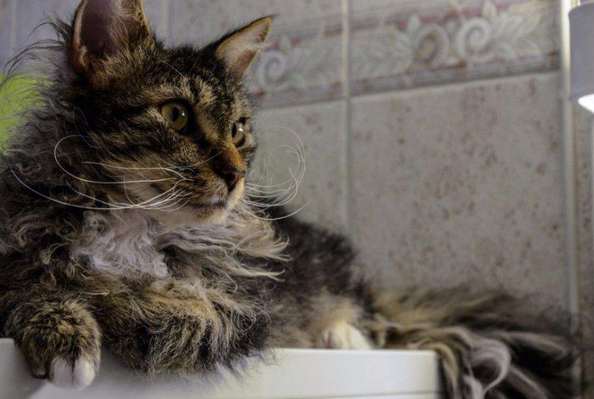 Характер кошки породы лаперм