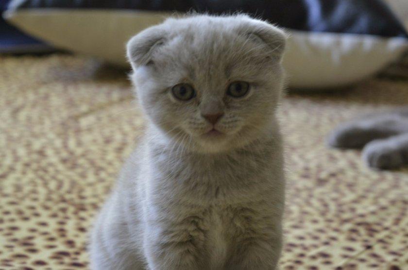 Шотландская вислоухая порода кошек