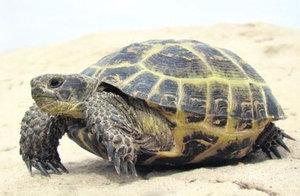 Обитание, образ жизни и питание черепахи