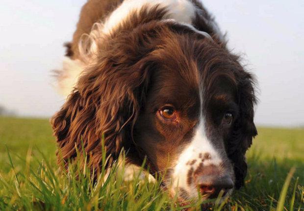 Порода собак английский спрингер-спаниель: фото, видео, описание породы и характер