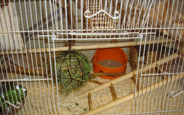 Условия содержания дегу в домашних условиях