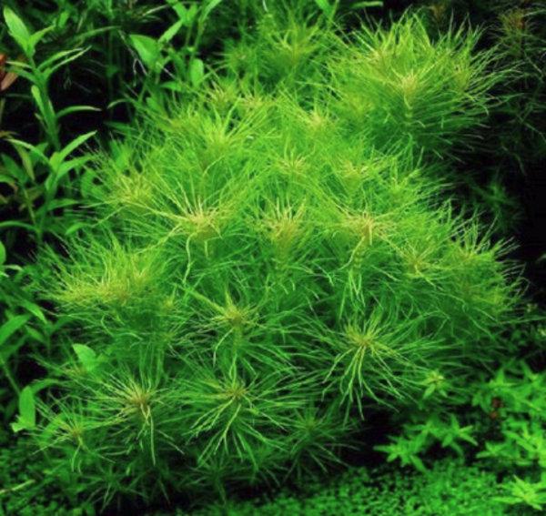 Аквариумное растение погостемон эректус: содержание в аквариуме