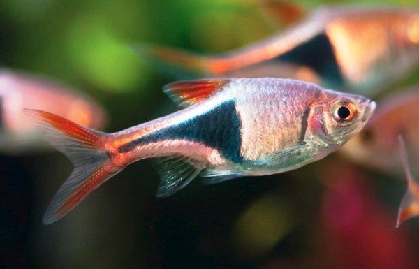 Клинопятнистая расбора содержание в аквариуме