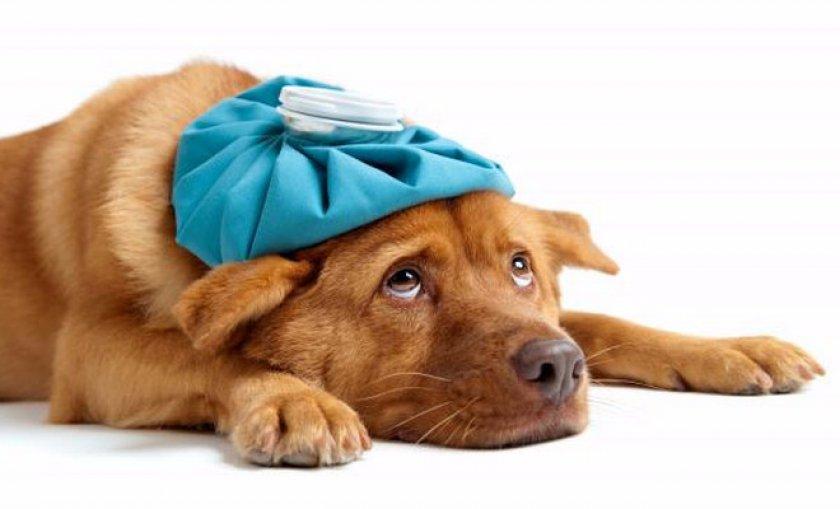 больная собачка
