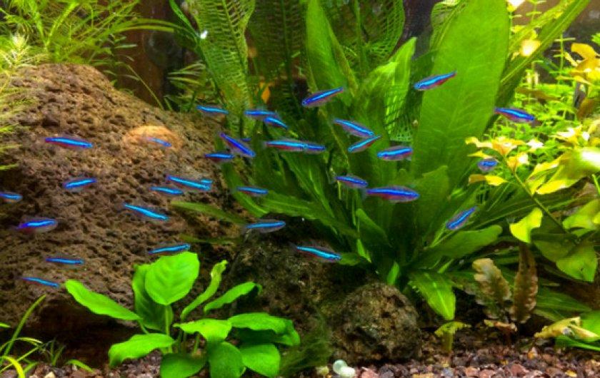 Аквариумные рыбки неоны