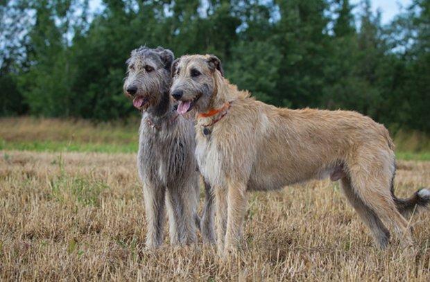 волкодавы фото собак