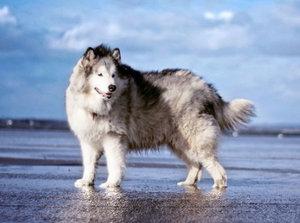 порода собак на маламут